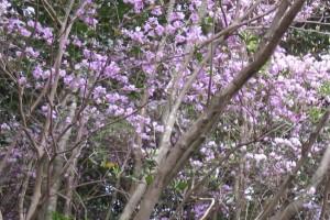 笠沙大当―春の風物詩ー「野間つつじ」