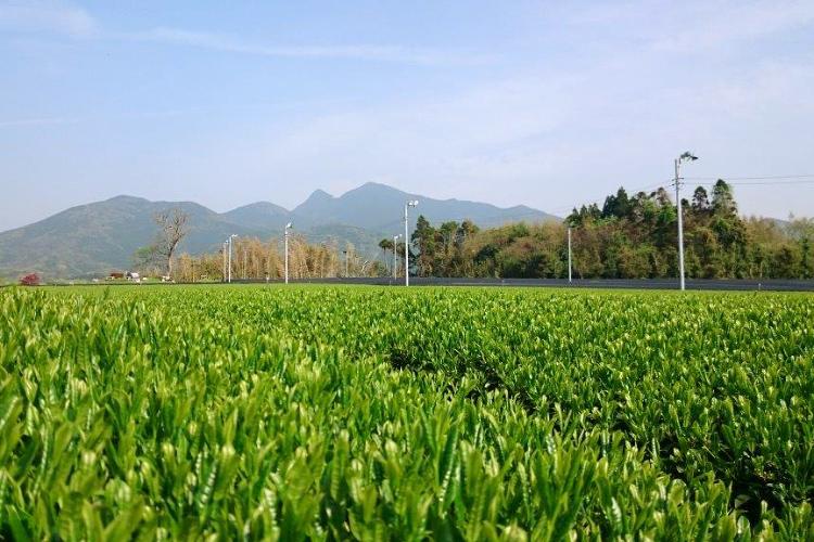 茶畑で収穫体験