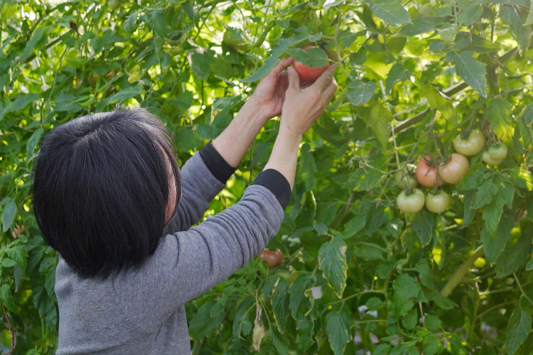 野菜果樹収穫