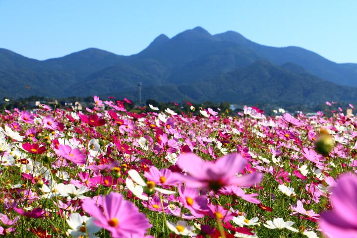 金峰山とコスモス