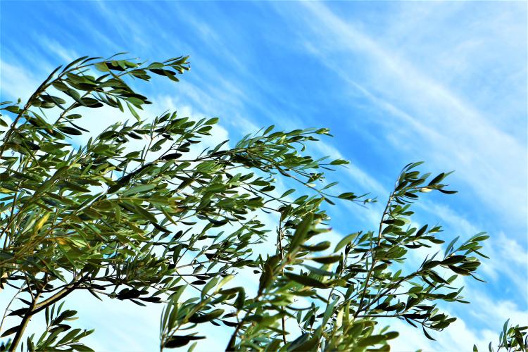 オリーブの木と南さつまの空