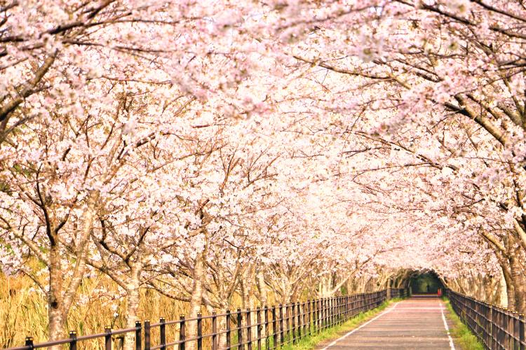 りんりんロードの桜並木