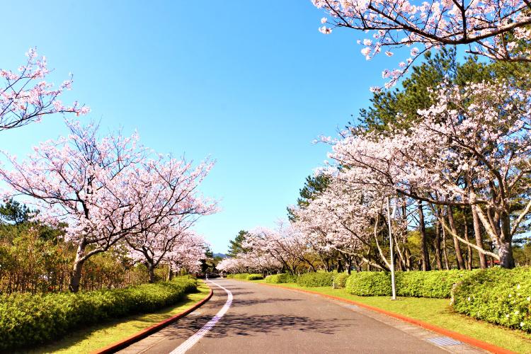 吹上浜海浜公園の桜並木