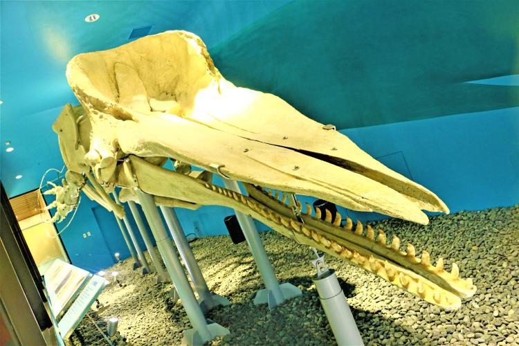 座礁クジラの骨格